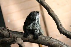 皇帝绢毛猴Saguinus imperator 免版税库存照片