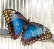 皇帝蝴蝶(闪蛱蝶属虹膜),蛱蝶科家庭的欧亚蝴蝶 库存图片