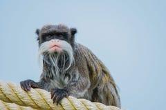 皇帝imperator拉丁命名saguinus绢毛猴 库存照片