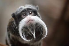 皇帝imperator拉丁命名saguinus绢毛猴 图库摄影