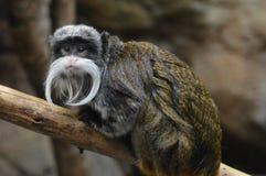 皇帝imperator拉丁命名saguinus绢毛猴 免版税库存图片