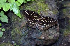 皇帝Swallowtail - Papilio ophidicephalus 库存图片