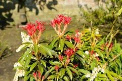 皮利斯森林火焰红色叶子 库存照片