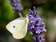 皮利斯Brassicae在紫色淡紫色的白椰菜蝴蝶 库存照片