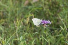 皮利斯brassicae,白色蝴蝶坐Carduus acanthoides 免版税库存图片