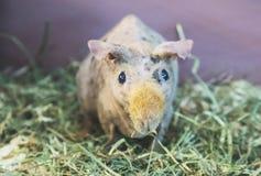皮包骨头的猪面孔 免版税库存照片