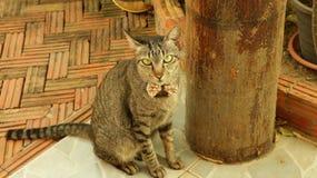 皮包骨头的镶边坐在庭院里的猫佩带的蝶形领结 免版税图库摄影