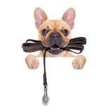 皮带狗准备好步行 库存图片