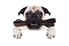 皮带狗准备好步行 免版税图库摄影