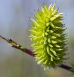 紫皮柳树的花 图库摄影