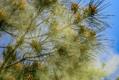 皮聪大杉木松属brutia pityusa绽放和多灰尘在春天庭院里 杉木花粉,哪些用于医药目的 库存图片