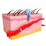 皮肤免疫反应解剖学  库存照片
