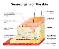 皮肤感受器官 向量例证