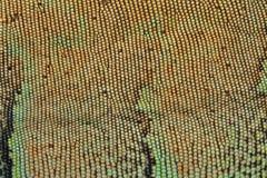 皮肤纹理样式绿色鬣鳞蜥 库存图片