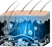 皮肤解剖学摘要蓝色设计 库存例证
