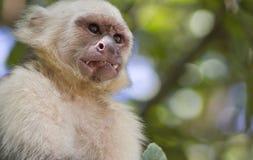 皱眉的连斗帽女大衣猴子 库存照片