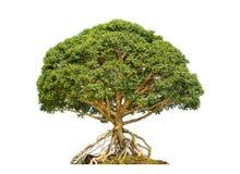 盆景中国人结构树 库存照片