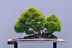 盆景中国榆木 免版税库存图片