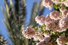 盆景九重葛模式结构树 库存照片