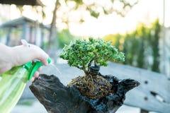 盆景关心和趋向室内植物成长 浇灌的小树 树治疗概念 免版税库存图片