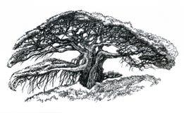 盆景印度榕树 库存图片