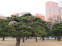 盆景喜欢在街市东京都市风景前面的杉树 免版税图库摄影
