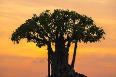 盆景在五颜六色的日落天空的树剪影 库存图片