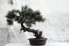 盆景常青微型杉树 库存照片