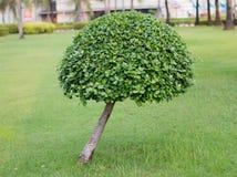 盆景常青微型杉树 库存图片