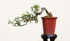 盆景常青微型杉树 免版税图库摄影