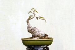 盆景常青微型杉树 图库摄影