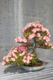 盆景开花的树 免版税库存图片