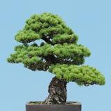 盆景日本杉木白色 库存图片
