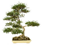 盆景查出的结构树白色 免版税库存照片