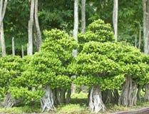 盆景树。 免版税库存照片