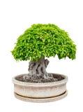 盆景树典雅在花瓶 免版税图库摄影