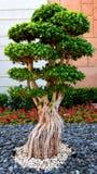 盆景树在庭院里在亚特兰提斯,迪拜 免版税图库摄影