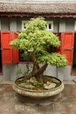 盆景树在越南 免版税库存图片