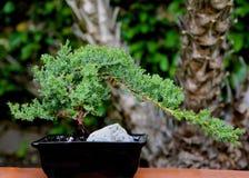 盆景植物 免版税库存照片