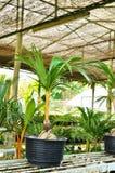 盆景椰树界面 免版税库存图片