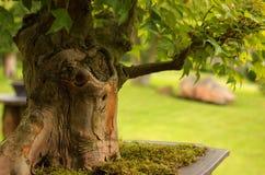 盆景槭树三叉戟 免版税库存图片