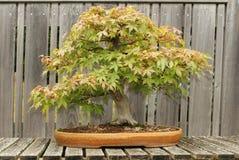 盆景槭树红色结构树 库存照片