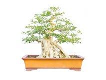 盆景泰国结构树 免版税库存图片