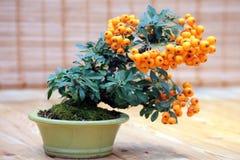 盆景火棘angustifolia -树用在罐的明亮的果子 免版税库存图片