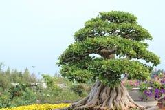 盆景树 免版税库存图片