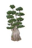 盆景矮小的榕属老结构树 免版税库存照片