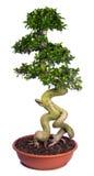 盆景种植盆的结构树 免版税库存照片