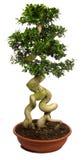 盆景种植盆的结构树 免版税图库摄影