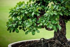 盆景结构树的 免版税库存图片