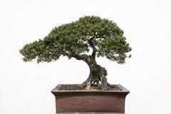 盆景结构树 免版税库存图片